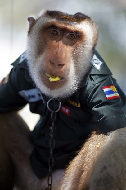 Santisuk, a five-year-old pig-tailed macaque monkey, wears a police shirt as he rides atop a patrolling vehicle in Saiburi district in Yala province