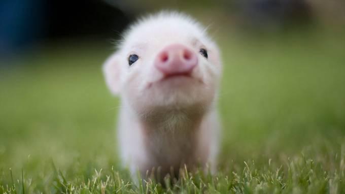 Підприємство на Прикарпатті друге у рейтингу найпотужніших свиногосподарств України