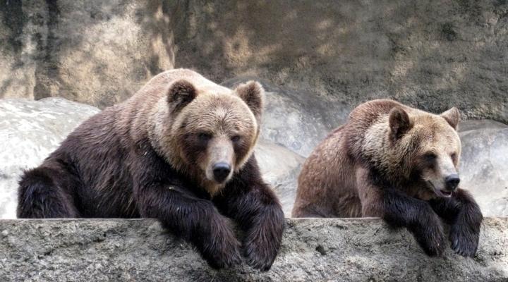 Смаколики для ведмедів: як у Галицькому НПП тварини ласують травою (відео)