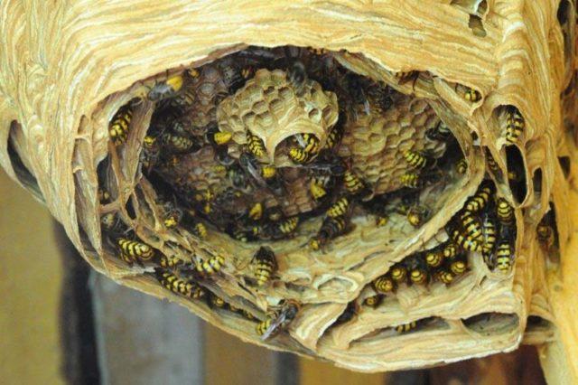 Агресивні комахи атакують Прикарпаття