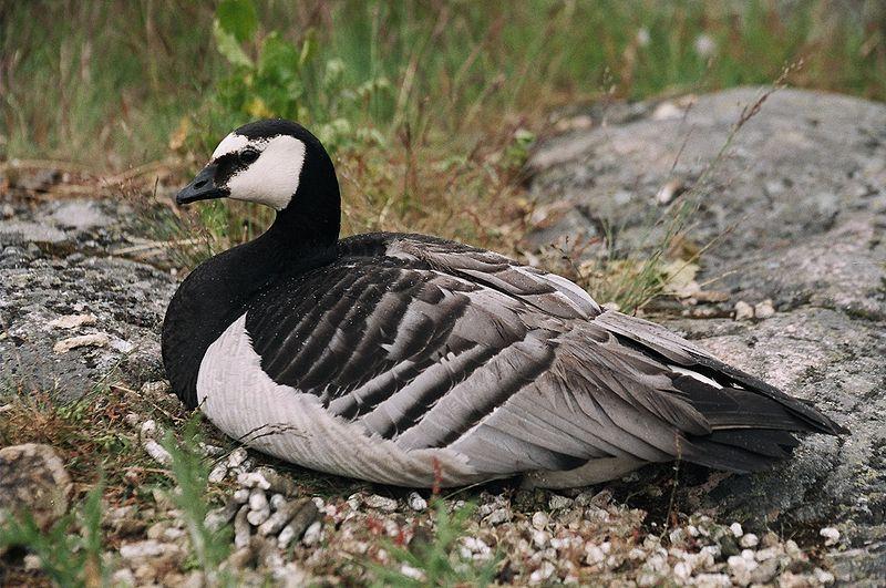 На Бурштинському водосховищі помітили рідкісного птаха