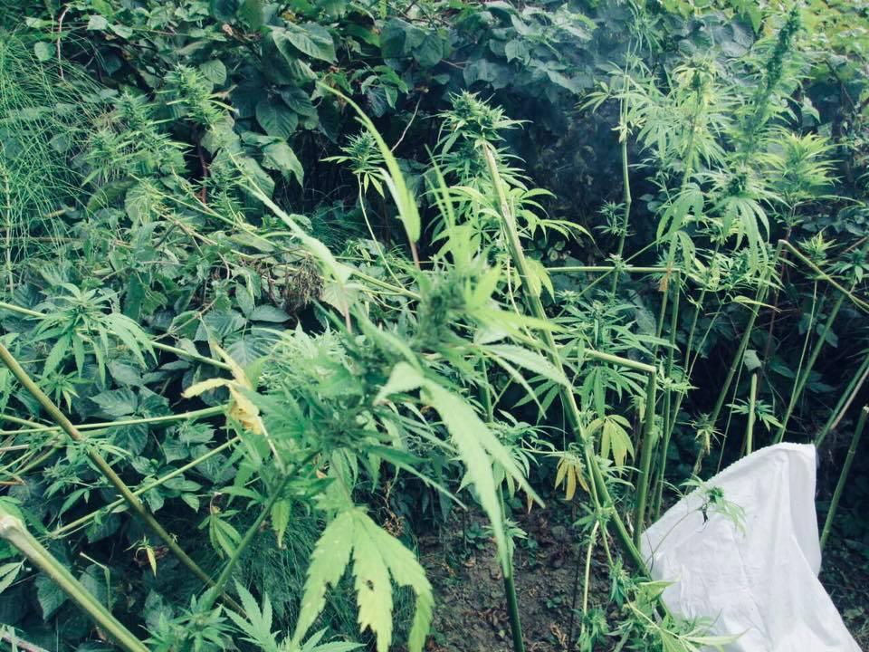 Мы посеем коноплю форум о выращивании марихуане